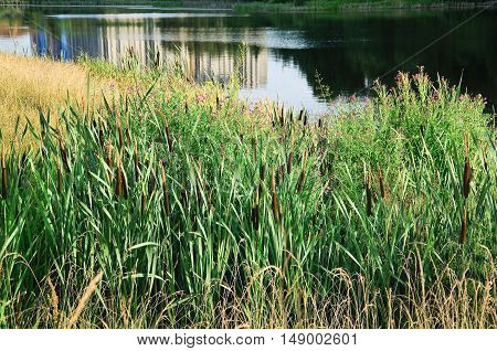 Broadleaf cattail (Typha latifolia) on the shore of the pond in the evening sun