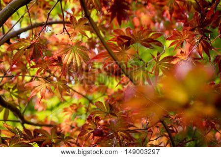 japanese red maple leaves wet with water after raining. Autumn fall season color.