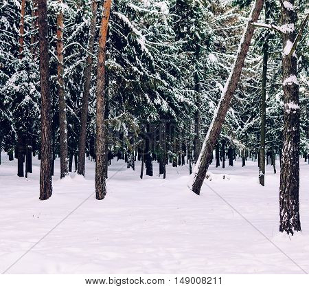 Trees in winter forest after the snowfall