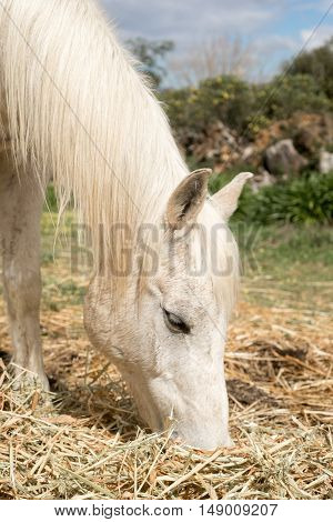 Up close portrait of a white Arabian horse as it grazes on some hay.