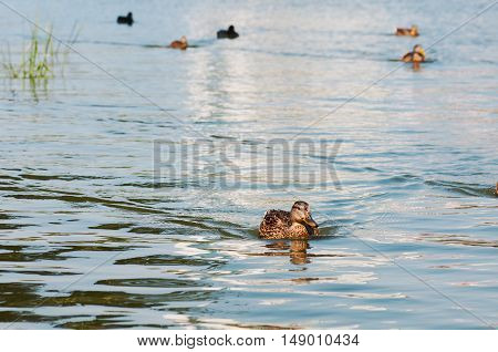 duck floating on the lake in the park
