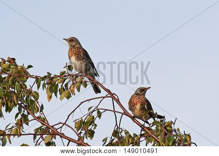 Two fieldfares resting in a tree with warm light from the sunset