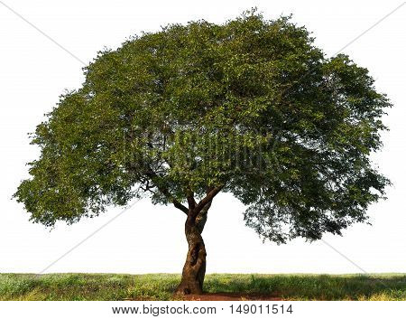 Tree green environment nature plant life solitary