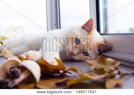 white cat with blue eyes plays with autumn leaves