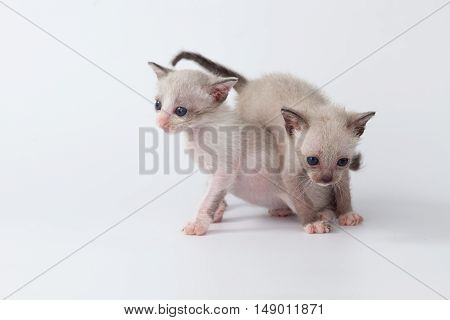 Cute Kitty Cat Playing On White Background