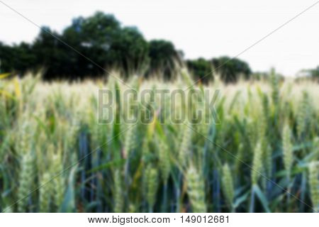 Wheat Growing In A Field In The Chilterns Out Of Focus.