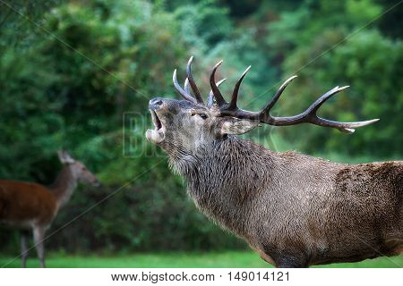Closeup of a male specimen of deer in love. The animal with the majestic antlers on the head when bellow is the breeding period the female deer in the background and the green woods.