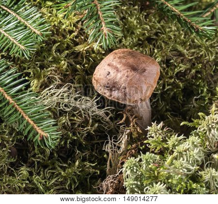 Boletus growing in the moss in the forest. Autumn background