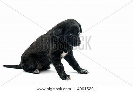 Puppy miniature dog isolated on white background