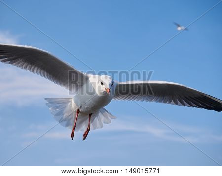 Seagull flying in the blue sky on a beautiful summer day