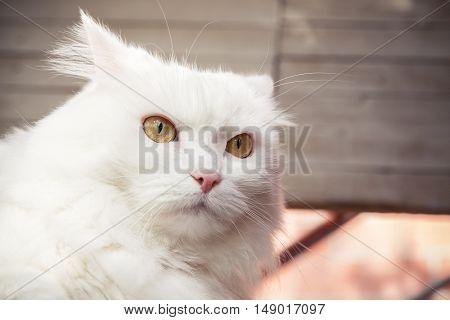 Closeup Portrait Of White Fluffy Cat