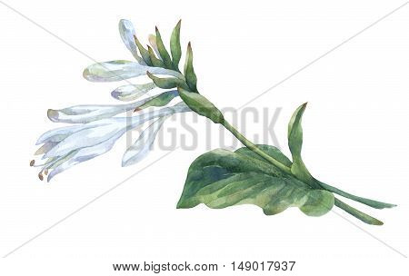 Branch of white hosta flower isolated on white. Hosta plantaginea, asparagaceae family. Watercolor painting.