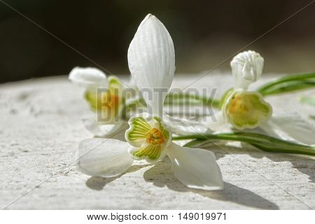 Three snowdrops are located on a white wall in the sunlight