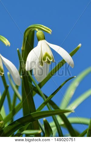 Snowdrops against a blue sky and green grass