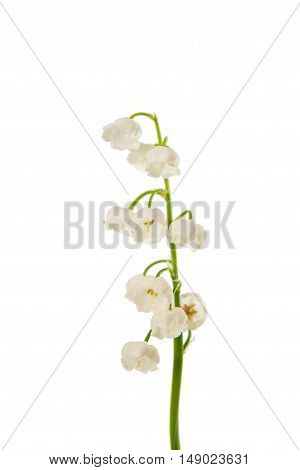 lily of the valley flowers isolated on white background