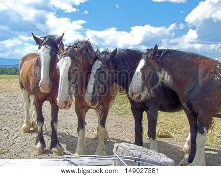 Clydesdale horses four resting from work chore