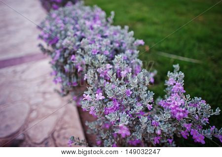 Small Bushes With Violet Flowers On Grass
