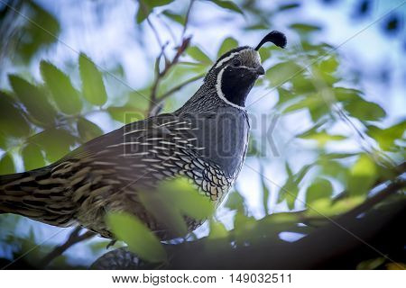 Close up of Quail in tree. A cute california quail is perched up in a tree.