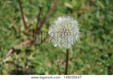 The seed head of a common dandelion (Taraxacum officinale) during May in Joliet, Illinois.