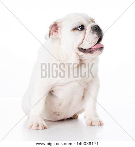 english bulldog puppy sitting on white background