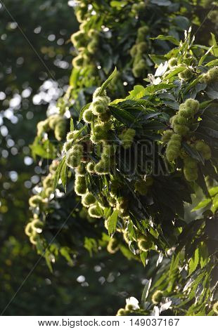 Unripe chestnuts growing on a chestnut tree