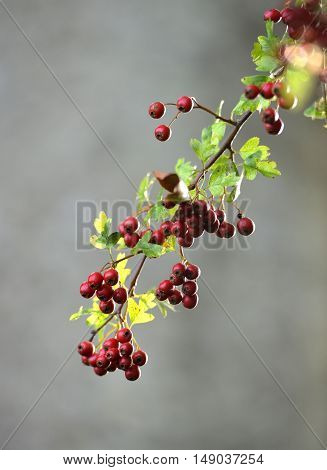 Hawthorn twig and berries during autumn / fall