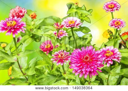 Blooming pink zinnias in the flowerbed in the garden on a sunny summer day close up. Selective focus