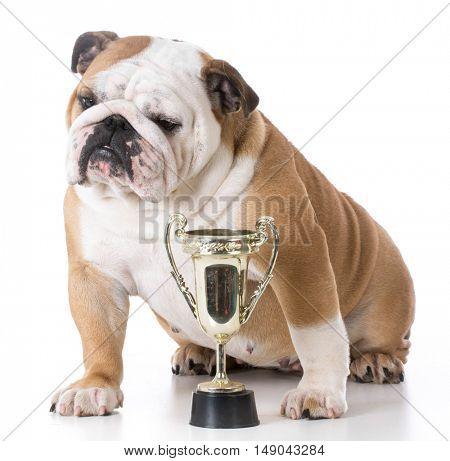 english bulldog sitting beside trophy isolated on background