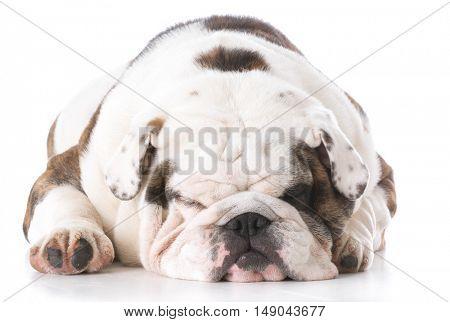 english bulldog laying down sleeping on white background