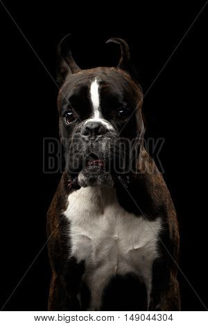 Close-up Portrait of Purebred Boxer Dog Brown with White Fur Color surprised Looks in Camera Isolated on Black Background
