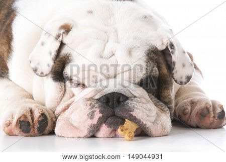 english bulldog with dog bone in mouth isolated on white