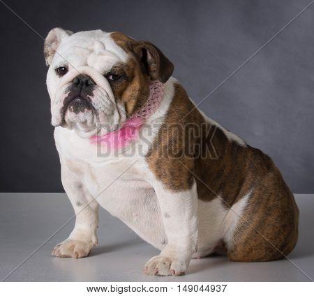 female english bulldog wearing pink collar on black background