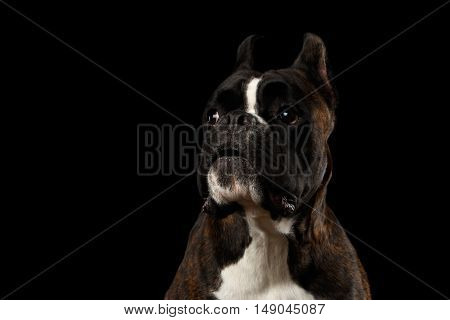 Close-up Portrait of Funny Purebred Boxer Dog Brown with White Fur Color on Chest Stare and open mouth in surprise Isolated on Black Background, Front view