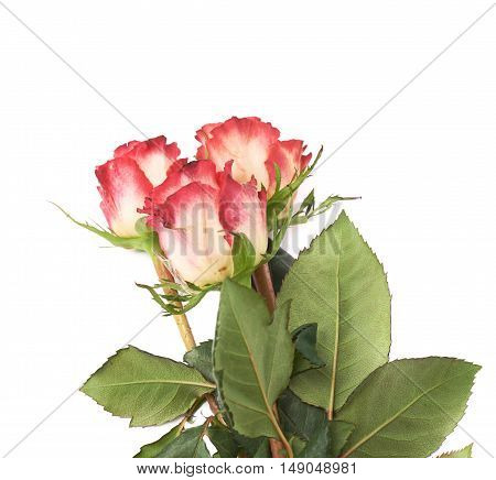 Three red pink rose isolated lying over the white surface