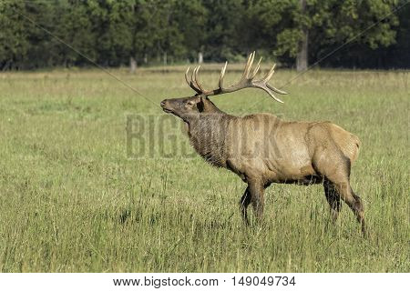 Elk In The Cataloochee Valley In North Carolina - Copy Space To The Left