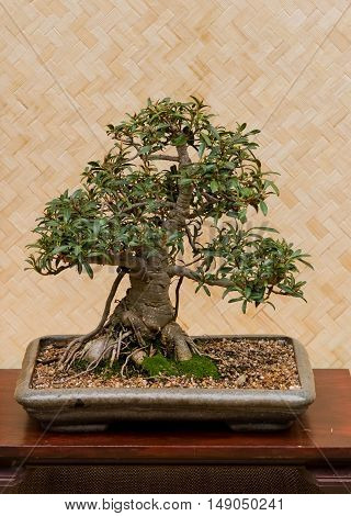A bonsai tree on a wooden table