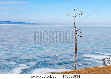 Lonely tree on a background of lake Baikal in winter. Olkhon island. Ice on Lake Baikal.