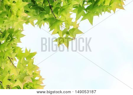 Beautiful Maple leaves for background Copy space