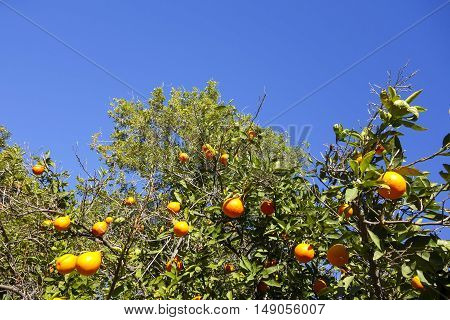 Ripe oranges on top of citrus trees crown ready for harvesting in late December
