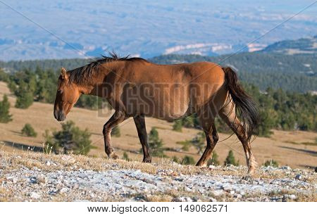 Wild Horse Dun Buckskin Mare on Tillett Ridge above Teacup Bowl in the Pryor Mountains in Montana - Wyoming USA