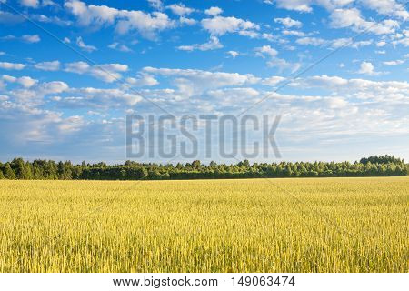 agriculture field of ripe rye. rural summer landscape