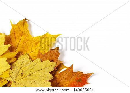 A Beautiful autumn maple leaves over white