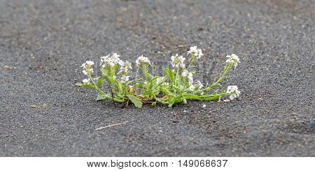 Plant Growing On Black Sand - Iceland