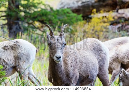 Big-Horned Sheeps, in the Banff National Park in Autumn, Rocky Mountains, Canada