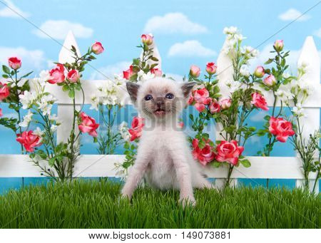 Adorable Siamese kitten sitting in long grass with white picket fence in background pink roses and white flowers on fence sky background with clouds.