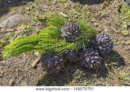 Fresh cones of Siberian cedar pine. Altai Mountains Russia.