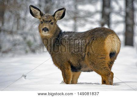 Mule Deer Doe in forest in deep snow