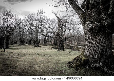 Wide angle view of old chestnut trees