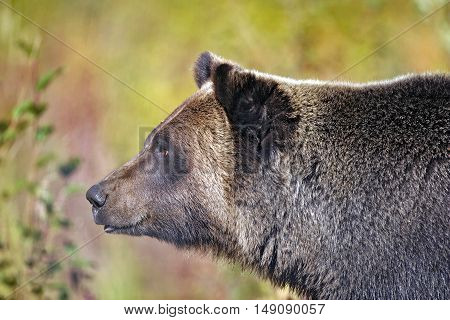Head of big Grizzly Bear, alert portrait close up