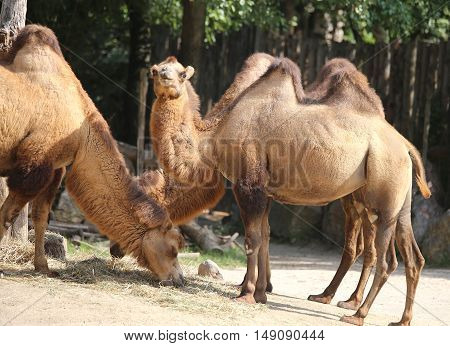 African Camels While Eating Inside The Zoo Fence
